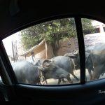 【インド・アグラ旅記録6】信じられる?牛がその辺に普通にいるという状況(2017年冬)