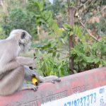 【インド・リシケシ旅記録29】顔が黒い猿がたくさんいる!(2017年冬)
